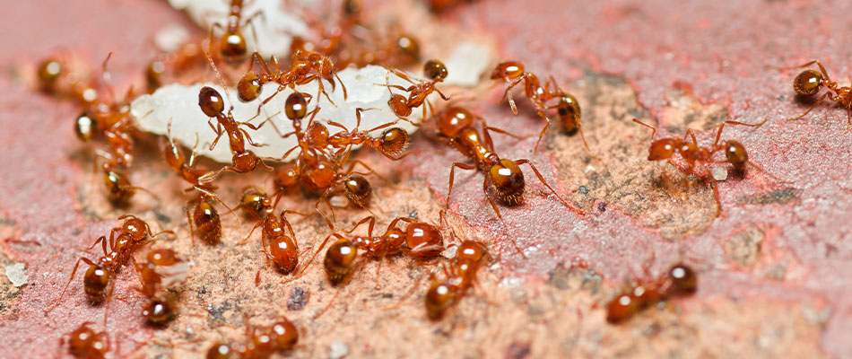 Close up photo of a fire ant nest.